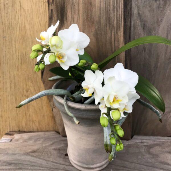 Phalaenopsis Geisha, småblommig
