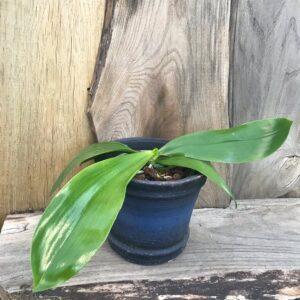 Phalaenopsis Su's Bellicosa, planta