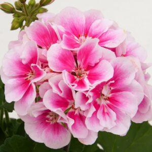 Pelargon Moonlight Katy 13, blommor