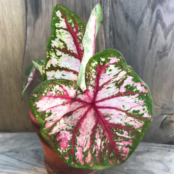 Caladium bicolor, variant fyra