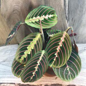Maranta leuconeura, Vuxen planta