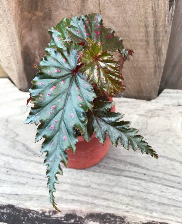Begonia serratipetala, ung planta ovanifrån