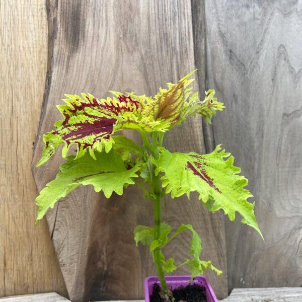 Coleus blumei 'Big Chief', planta