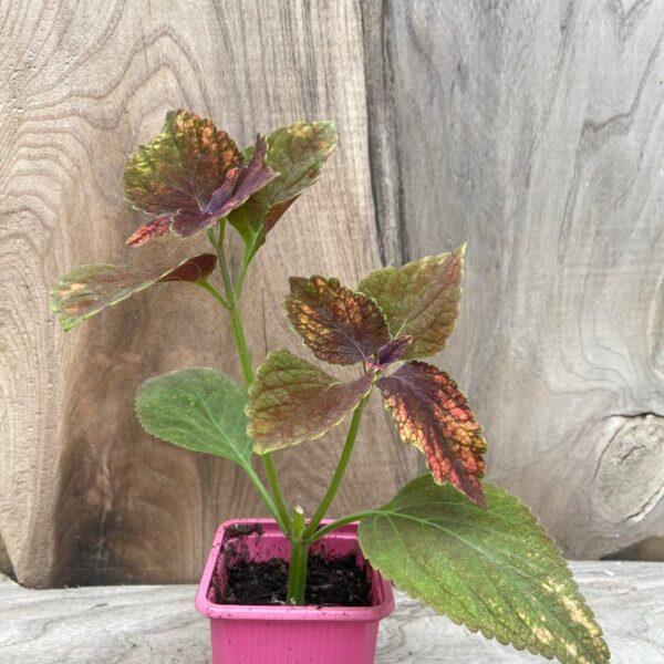 Coleus blumei 'Haines', planta