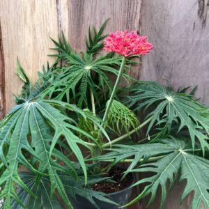Jatropha multifida, planta