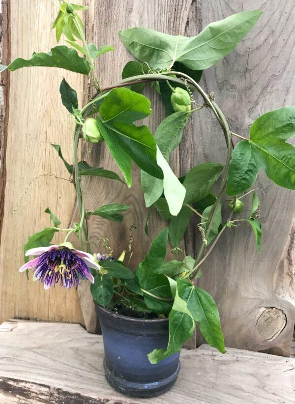 Passiflora Monique Klemann, planta med blomma