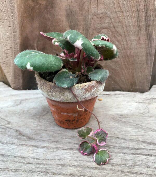 Saxifraga stolonifera 'Tricolor', ung planta i lerkruka