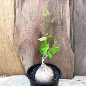 Stephania pierrei, planta med gröna blad