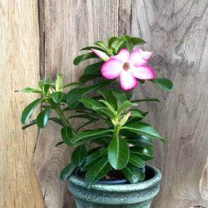 Adenium obesum 'Sunshine', rosa, blommande