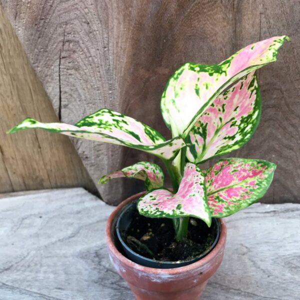 Aglaonema Red Zirkin, ung planta
