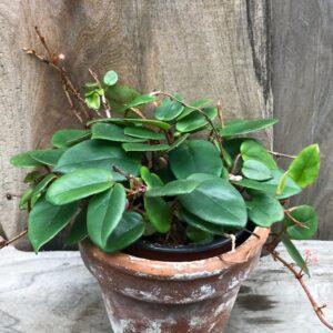 Begonia elaeagnifolia, vuxen planta