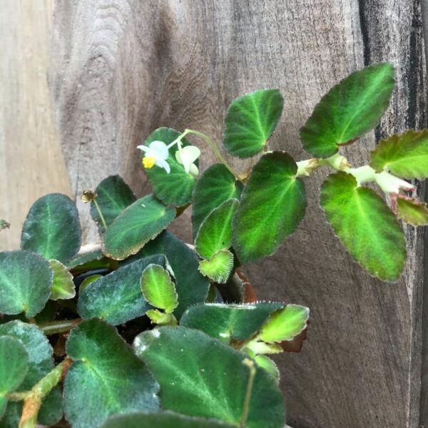 Begonia thelmae, blommor