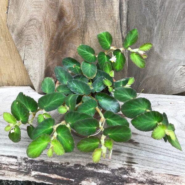 Begonia thelmae, vuxen planta