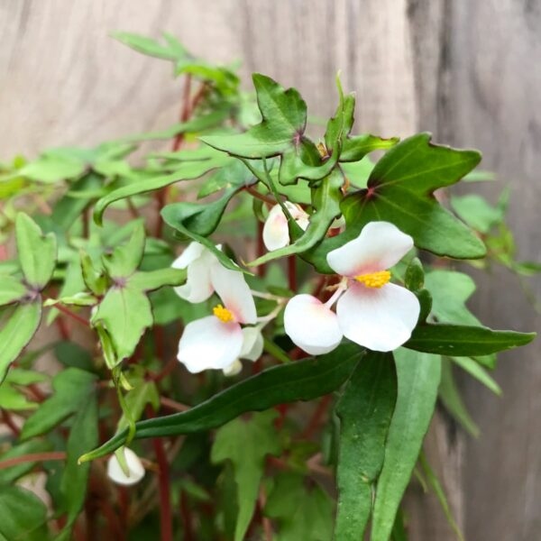 Begonia tripartida, blommor