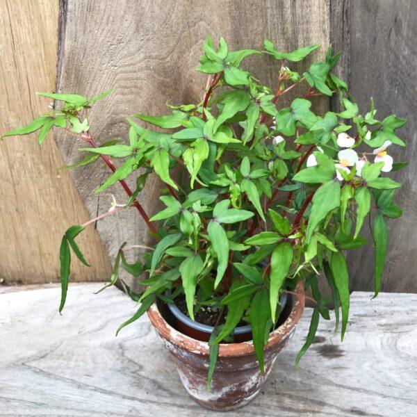 Begonia tripartida, vuxen planta
