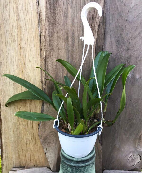 Bulbophyllum A-doribil Candy, 14 cm ampel