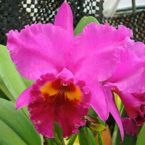 Cattleya Nobile's Coronation x Lake Casitas, blomma