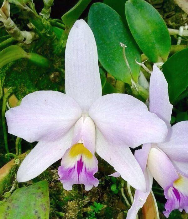Cattleya Teipels Sincolori, blomma
