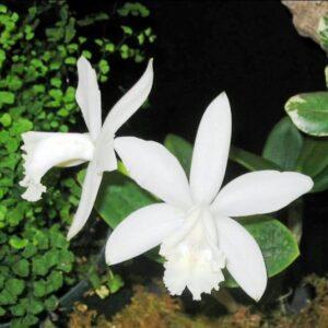Cattleya intermedia, Alba