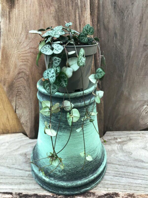 Ceropegia woodii, större ung planta