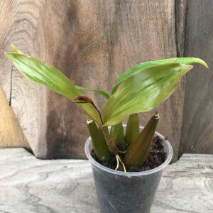 Coelogyne lentiginosa x affine, vuxen planta