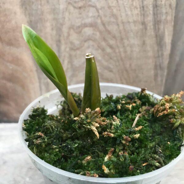 Coelogyne lentiginosa x affine, ung planta