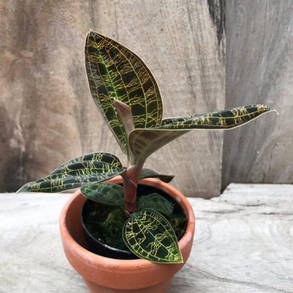 Macodes petola 'Dark Leaves', ett skott
