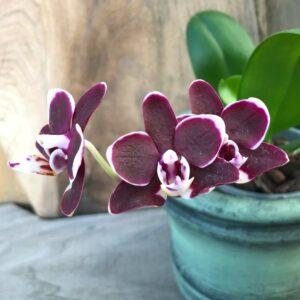 Phalaenopsis Sogo Banana Chocolate 'F5194', blommor