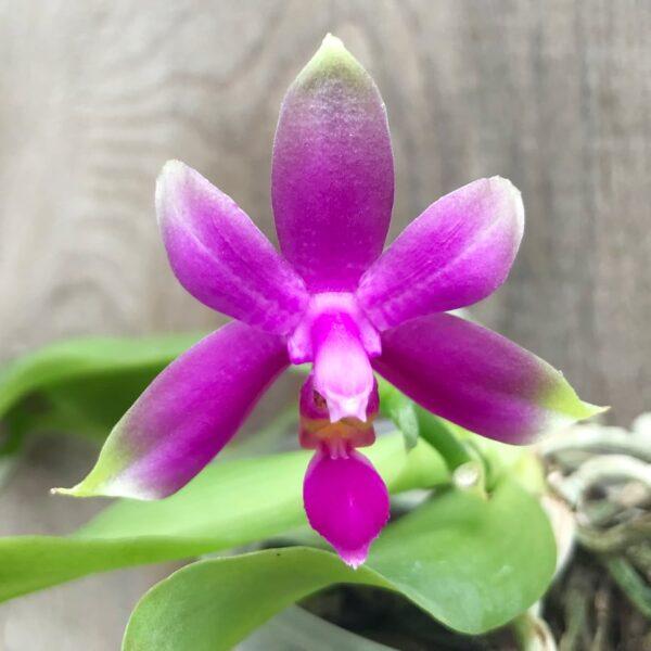 Phalaenopsis violacea 'Malaysia', blomma