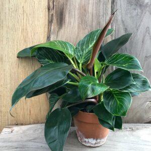 Philodendron White Measure och Philodendron Rojo Congo, vuxna plantor