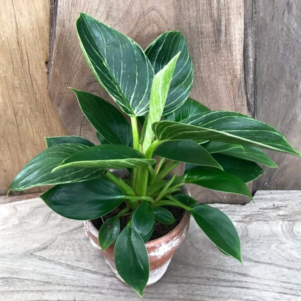Philodendron White Measure, större ung planta