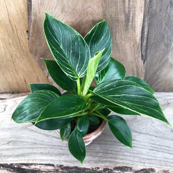 Philodendron White Measure, större ung planta, uppifrån