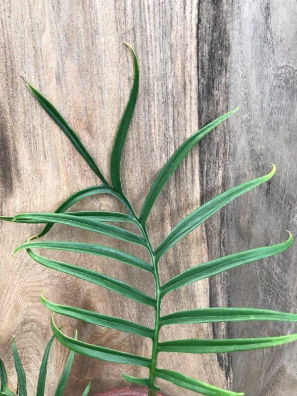 Philodendron tortum, blad