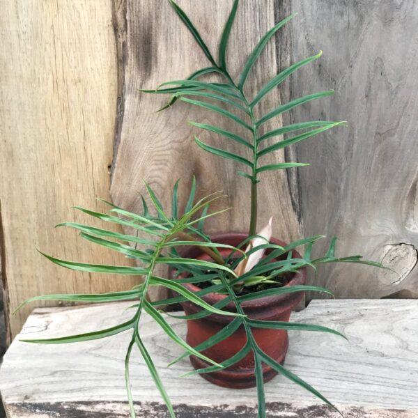 Philodendron tortum, ung planta