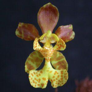 Psychopsiella limminghei, blomma