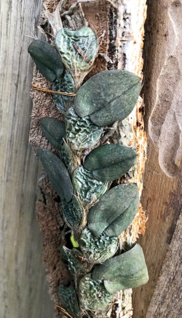 Psychopsiella limminghei, stor nog att blomma, monterad på kork