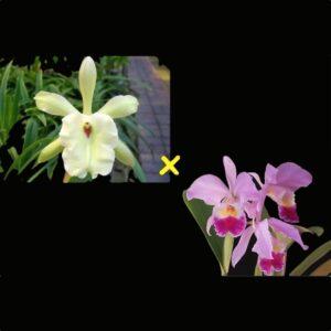 Rhyncholaeliocattleya Pyrrha, föräldrar