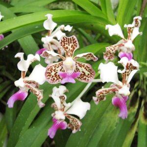 Vanda tricolor var. suavis, blommor, Lucke
