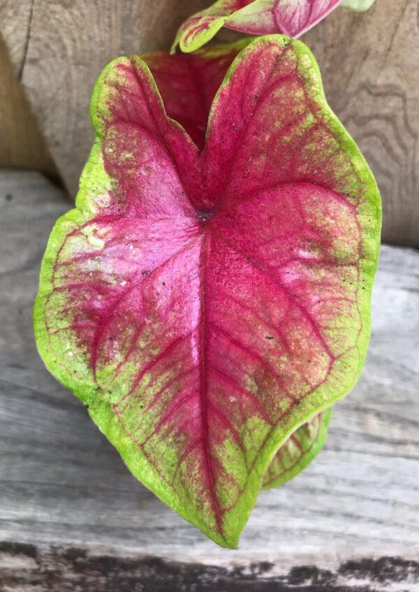 Caladium bicolor 'Bella', blad
