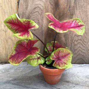 Caladium bicolor 'Bella', ung planta