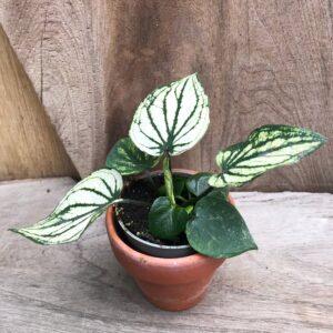 Caladium bicolor 'Pliage', ung planta