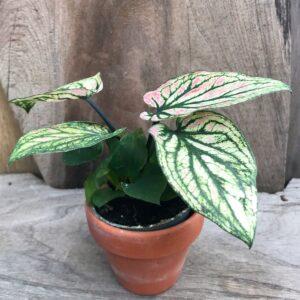 Caladium bicolor 'Saga', ung planta
