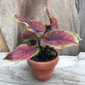 Caladium bicolor 'Selma', ung planta