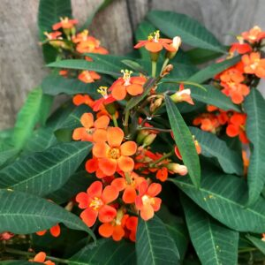 Euphorbia fulgens, blommor