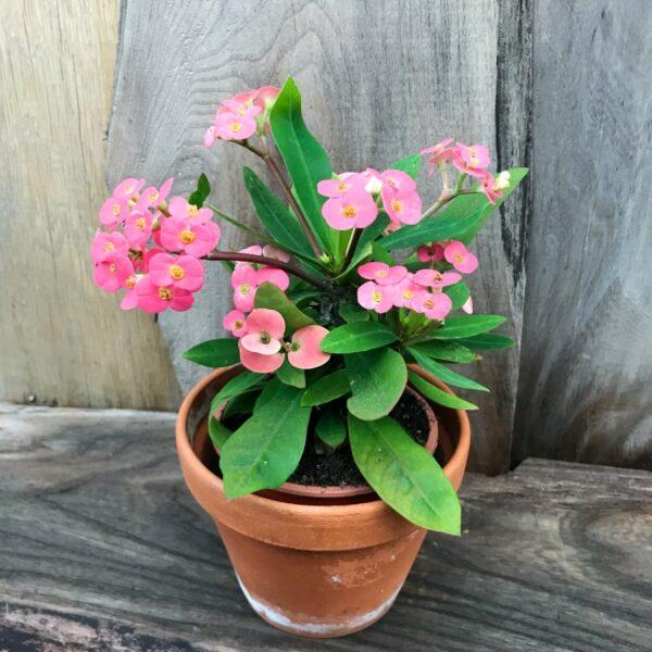 Euphorbia milii, rosa, vuxen planta
