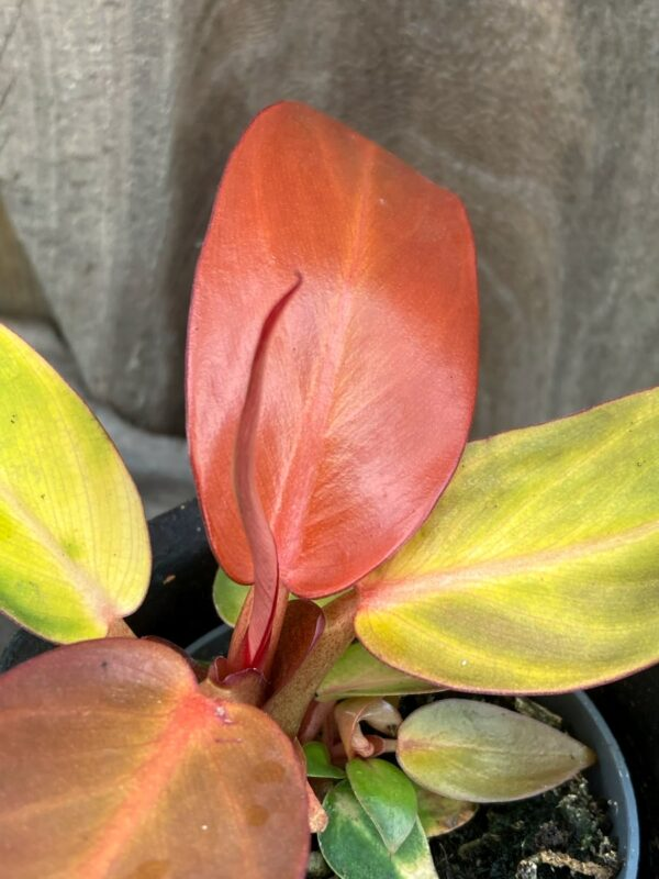 Philodendron Red Sun, blad