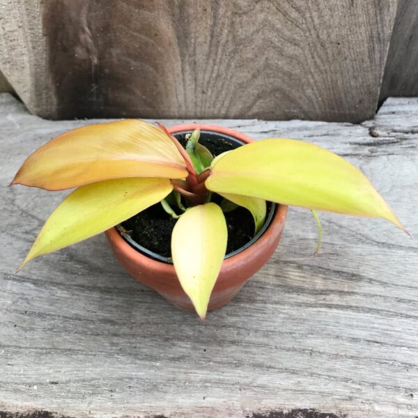 Philodendron Red Sun, ung planta