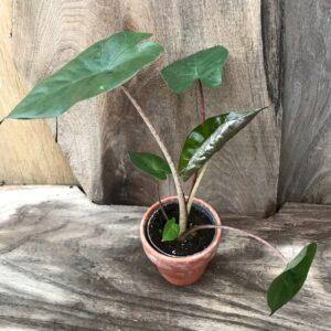 Alocasia cucullata 'Princess', ung planta