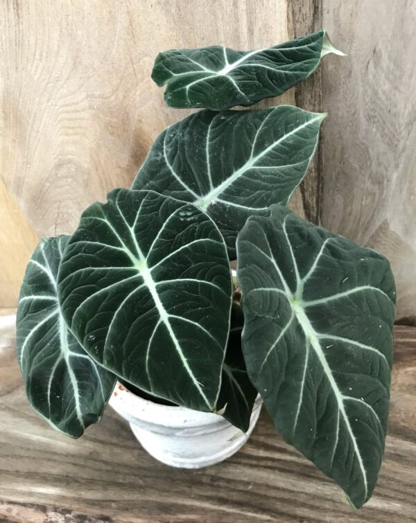 Alocasia reginula 'Black Velvet', vuxen planta