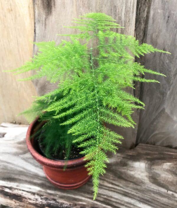 Asparagus setaceus, blad